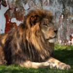 """Lion At Rest LYRW-1012"" by DesignerPhotographyByNancy"
