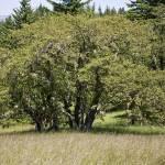 """Oak Grassland"" by davidhowell"