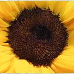 """Eye of the Sunflower"" by GiorgettaMcRee"