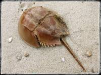 Stingray Crab