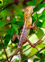 Indian Lizard: Hotel Wildlife