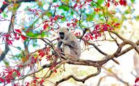 Gibbon Eating Red Leaves