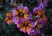 Painted Tongue  - Salpiglossis sinuata