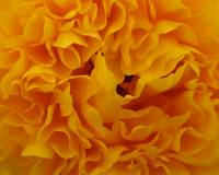 Yellow Flower Macro