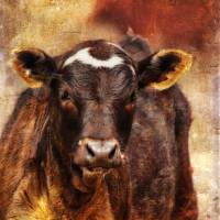 Young Calf Art Prints & Posters by Heather Green