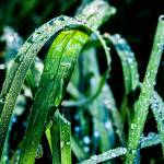 """Dew Soaked Grass"" by Williams_Toni"