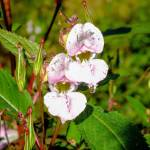 """Himalayan Balsam"" by Williams_Toni"