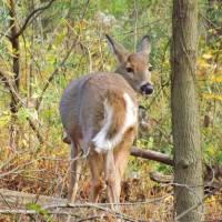 Deer Art Prints & Posters by Pamela Rivera
