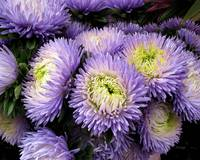 Chrysanthemum...Passion
