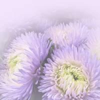 Chrysanthemum...Passsion...Subtle by Patricia Schnepf