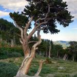 """Live Bristlecone Pine"" by Callahan_Galleries"