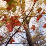 """""""Red Leaves"""" by MCaliPhotography"""