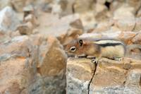 Ground squirrel on the rock
