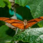 """Julia Heliconian butterfly, (Dryas Iulia)"" by eyalna"