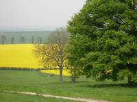 Yellow field 2