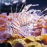 """Lion Fish"" by greencricketphoto"
