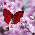 """Red butterfly on plum blossom branch"" by photogarry"
