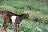 Young Brown and White Goat
