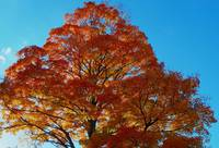 Autumn Maple Blaze