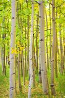 Aspen Tree Forest Autumn Time Portrait