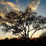 """Big tree and sunset"" by Auero"