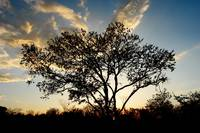 Big tree and sunset