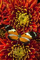 Butterfly On Spider Mums