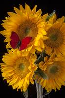 Red butterfly with four sunflowers
