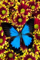 Blue butterfly on yellow red mums
