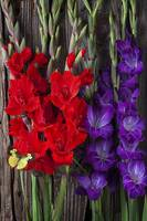 Gladiolus and butterfly