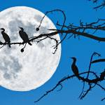 """Moonlit Cormorants"" by DonnaPagakis"