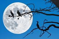 Moonlit Cormorants
