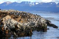 Elephant seals and Cormorants in the Beagle Channe