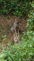 Coyote pups checking me out?
