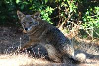 Coyote Juvenile Golden Gate Park