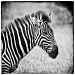 """Zebra Squared"" by useatripod"