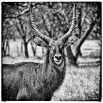 """Waterbuck Squared"" by useatripod"