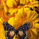 """Spotted butterfly on yellow mums"" by photogarry"
