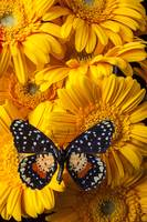 Spotted butterfly on yellow mums