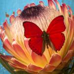 """Red butterfly on Protea"" by photogarry"