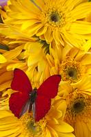 Red butterfly on yellow daisy's
