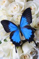Blue butterfly on white roses