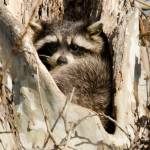 """""""Raccoon"""" by WildAboutNaturePhotography"""