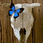 """Cow skull with blue butterfly"" by photogarry"