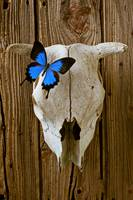 Cow skull with blue butterfly