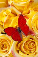 Red butterfly with yellow roses