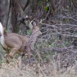"""""""White-tailed Buck"""" by WildAboutNaturePhotography"""