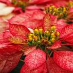 """Multi Colored Poinsettias"" by DonnaPagakis"