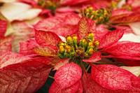 Multi Colored Poinsettias