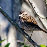 """Song Sparrow"" by WildAboutNaturePhotography"
